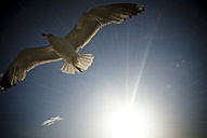 Flying seagull - SIPF01671