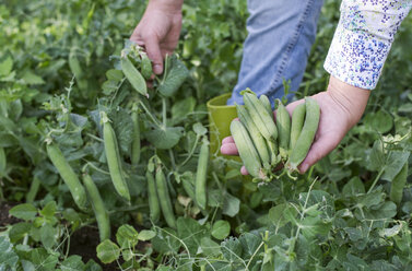 Woman's hand picking peas, close-up - DEGF00946