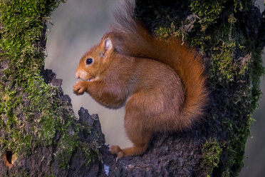 Portrait of eating Eurasian red squirrel - SIPF01679