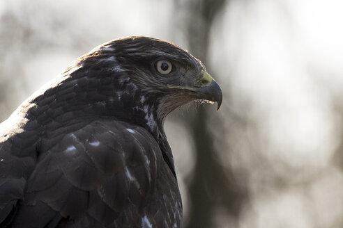 Portrait of Common buzzard - SIPF01682
