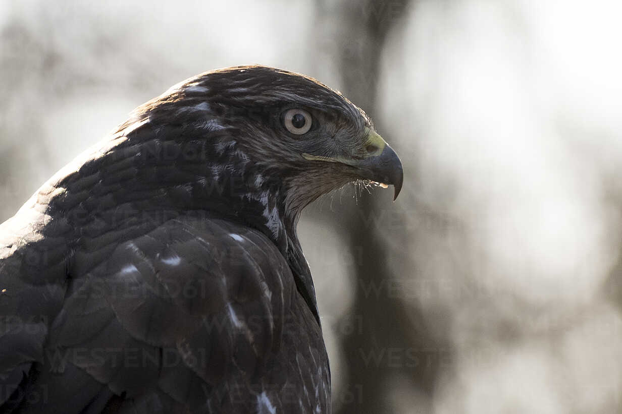 Portrait of Common buzzard - SIPF01682 - Simona Pilolla/Westend61
