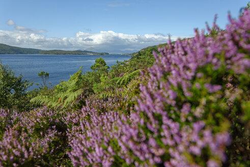 UK, Scotland, Northwest Highlands, Heather at Loch Alsh - LBF01634