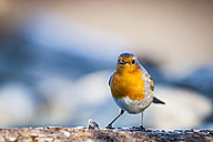 Portrait of robin - SIPF01699