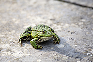 Common water frog on a wall - NDF00678