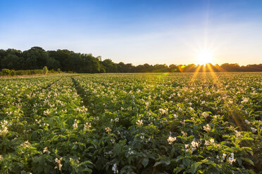 UK, Scotland, East Lothian, potato field at sunset - SMAF00830