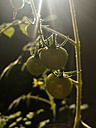 green tomatoes, garden, Berlin, Germany - NGF00410