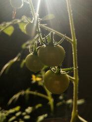green tomatoes, garden, Berlin, Germany - NGF00410