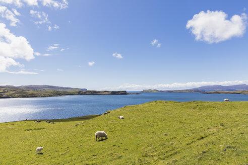 UK, Scotland, Inner Hebrides, Isle of Skye, Loch Harport, sheep on pasture - FOF09351