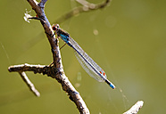Red-eyed damselfly on twig - SIEF07508