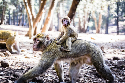 Marocco, portrait of young monkey riding on mother's back in the woods - SIPF01769