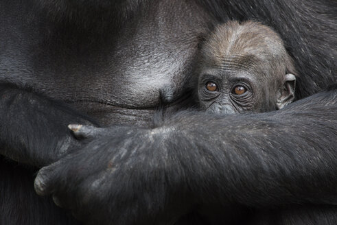 Gorilla baby hinding in mother's arms - MJOF01419