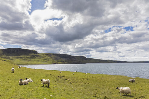UK, Scotland, Inner Hebrides, Isle of Skye, sheep at Duntulm sea viewpoint - FOF09366