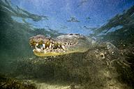 Mexico, American crocodile under water - GNF01401