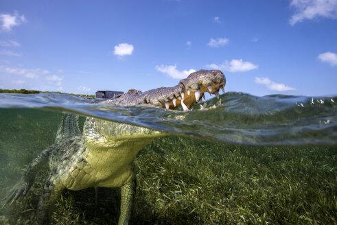 Mexico, American crocdile resurfacing - GNF01404