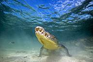 Mexico, American crocodile under water - GNF01407