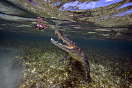 Mexico, America crocodile hunting under water - GNF01410