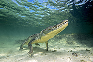 Mexico, American crocodile under water - GNF01413