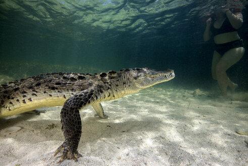 Mexico, American crocodile under water - GNF01416