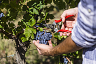 Close-up of man harvesting grapes in vineyard - MGIF00118
