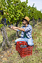 Man harvesting grapes in vineyard - MGIF00121