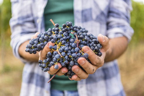 Close-up of man holding harvested grapes - MGIF00124