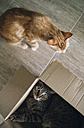 Two cats playing with cardboard box - RAEF01939