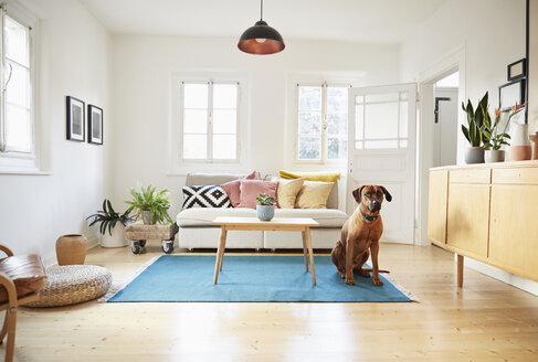 Rhodesian ridgeback sitting in bright modern livingroom - PDF01277