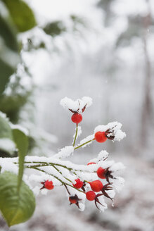 Snow covered rose hips - GWF05253