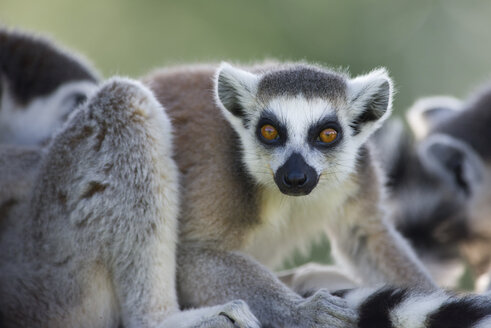Portrait of ring-tailed lemur - MJOF01422
