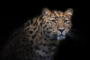Portrait of Amur leopard in front of black background - MJOF01425