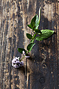 Twig of blossoming peppermint on dark wood - CSF28310