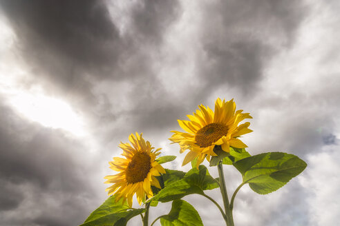 Two sunflowers against rainy clouds - SMAF00835