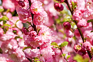 Almond tree twigs with pink blossoms - PUF00767