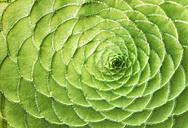 Aeonium balsamiferum, close-up - GUFF00277