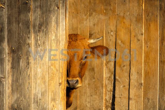 Murnau-Werdenfels Cattle hiding behind wooden wall - LBF01680