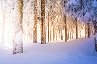 Germany, Baden-Wuerttemberg, snow-covered trees at Black forest near Mummelsee - PUF00789