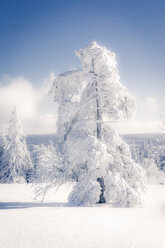 Germany, Baden-Wuerttemberg, Schliffkopf, snow-covered tree at Black forest - PUF00795
