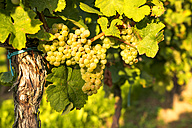 Green grapes hanging from vine - PUF00798