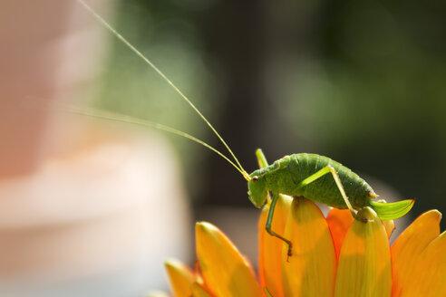 Great green bush-cricket on blossom - CSF28364