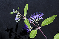 Caryopteris clandonensis in front of dark background - CSF28370