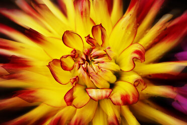 Yellow red dahlia, close-up - CSF28373