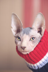 Portrait of Sphynx cat wearing pullover - RTBF01066