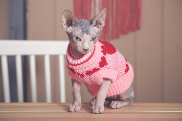 Portrait of Sphynx cat on table wearing pink pullover - RTBF01072