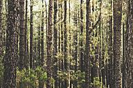 Spain, Tenerife, Corona Forestal Nature Park, Tree trunks - SIPF01819