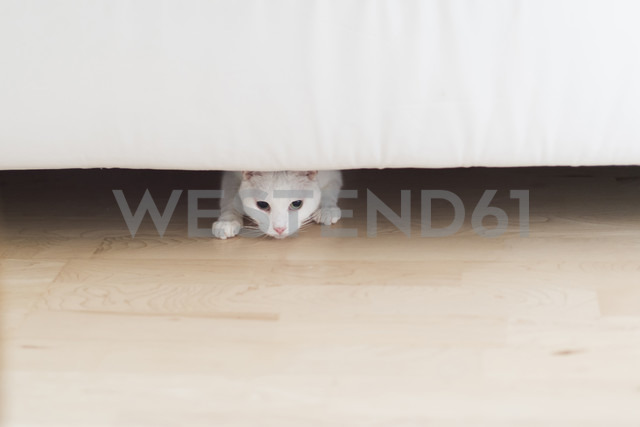 White cat crouching under the couch at home - CHPF00440