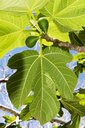 Italy, Calabria, Tropea, Figs, Ficus carica - CSTF01463