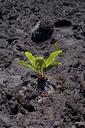 USA, Hawaii, Big Island, Hawai'i Volcanoes National Park, Lava and fern - HLF01058