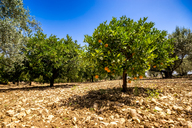 Spain, Mondron, orange tree in orchard - SMAF00855