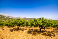 Spain, Mondron, peach trees in orchard - SMAF00858
