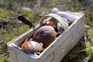 Splint basket of collected mushrooms - BFRF01809